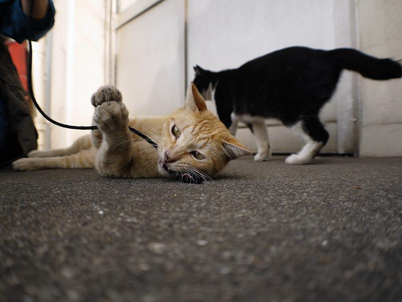 触られる茶白猫2
