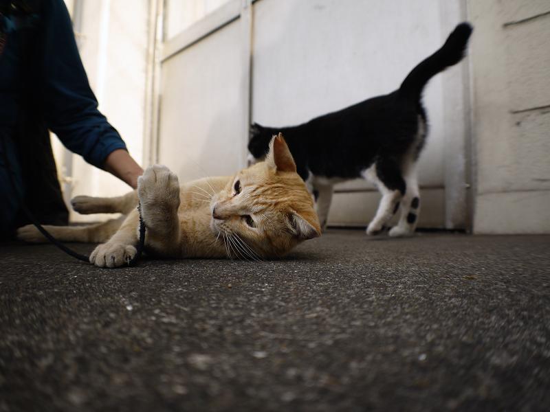 触られる茶白猫3
