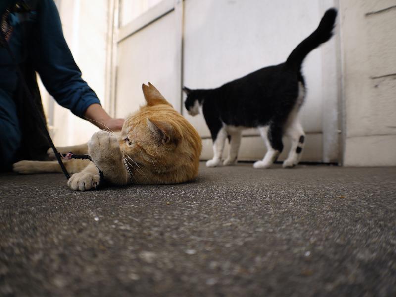 触られる茶白猫4