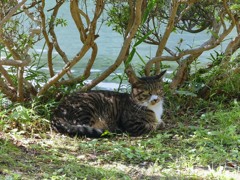 水辺で再会したキジ白猫1