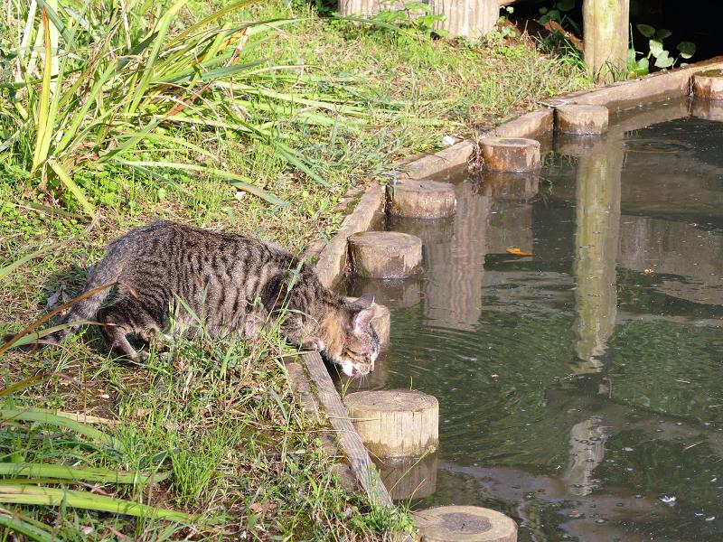 池の水を飲む子猫たち1