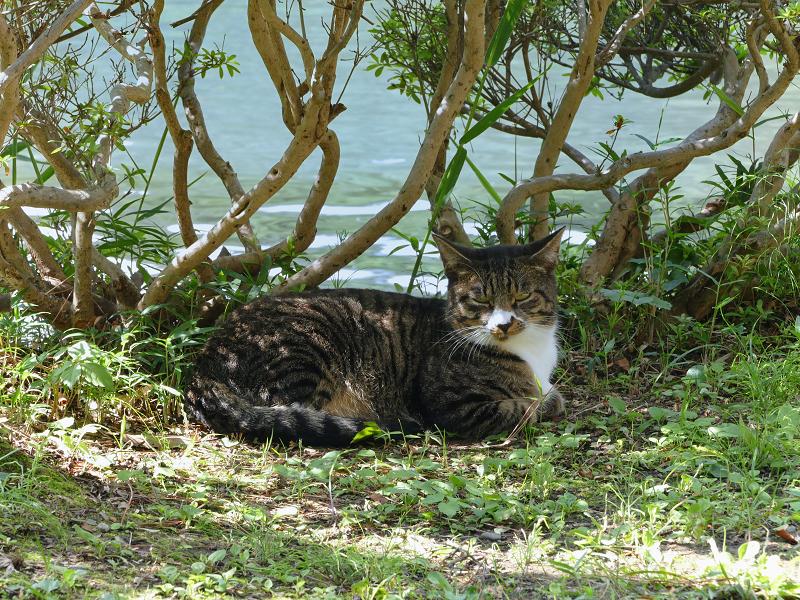 水辺で再会したキジ白猫2