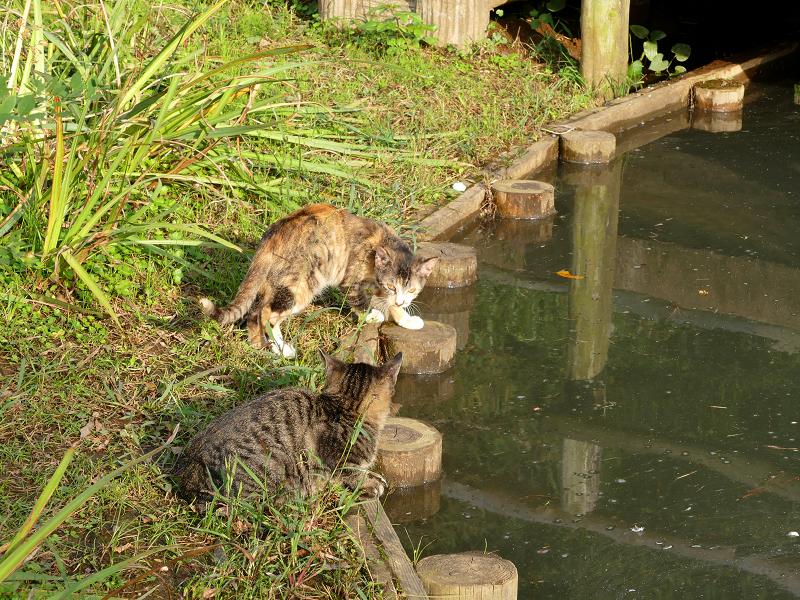 池の水を飲む子猫たち2