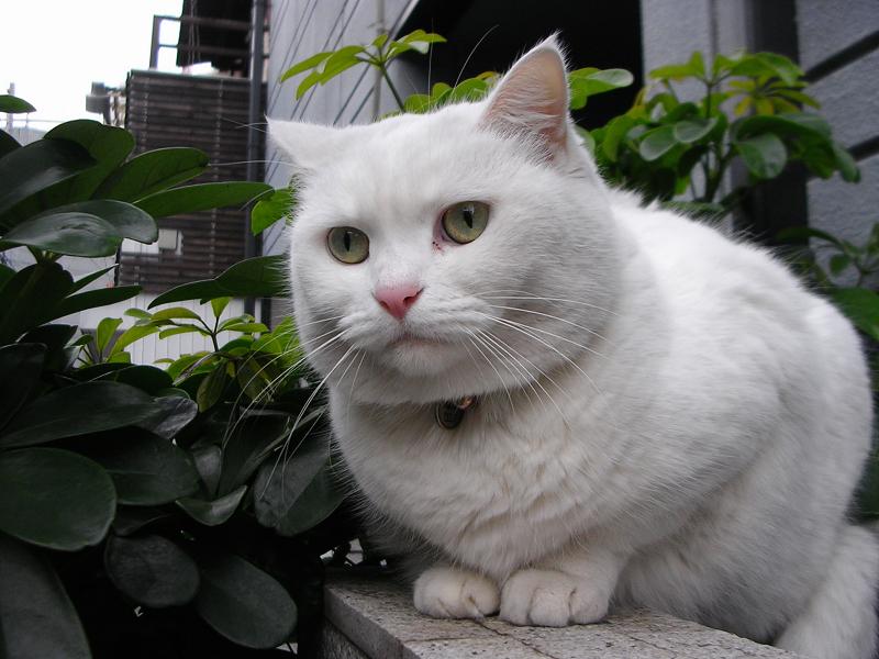 大きな白猫