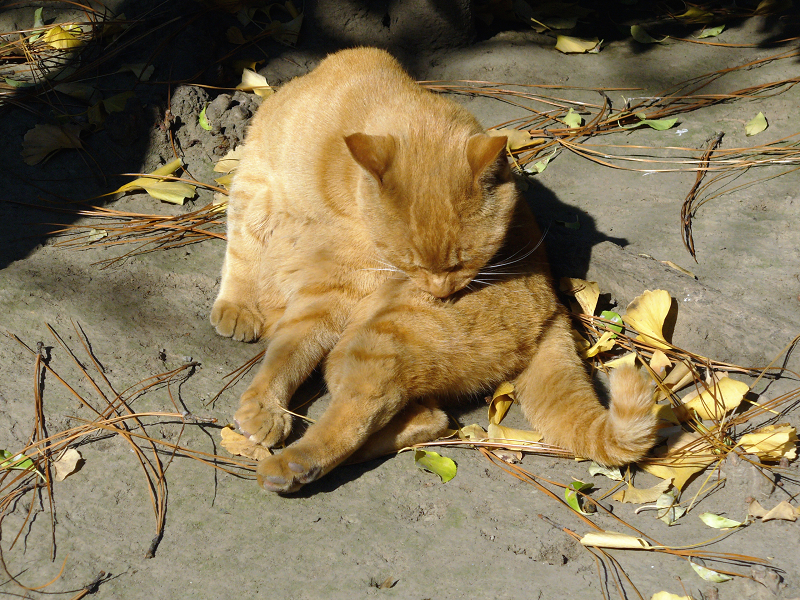 公園茶トラ猫3