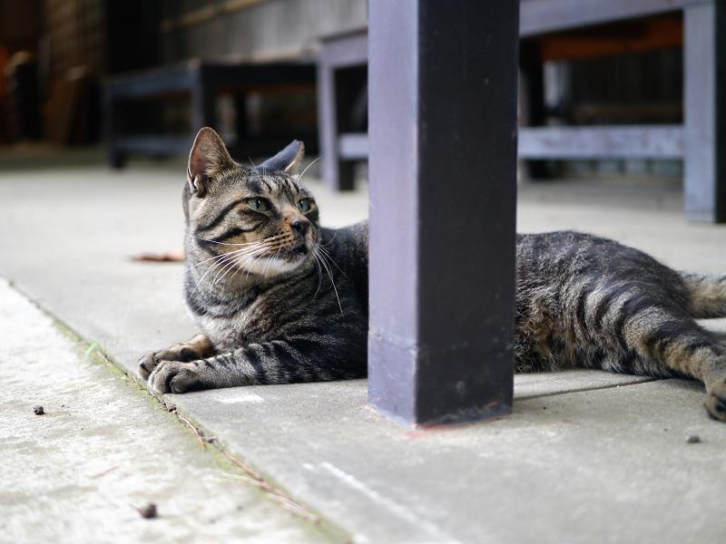 四角支柱とキジトラ猫1