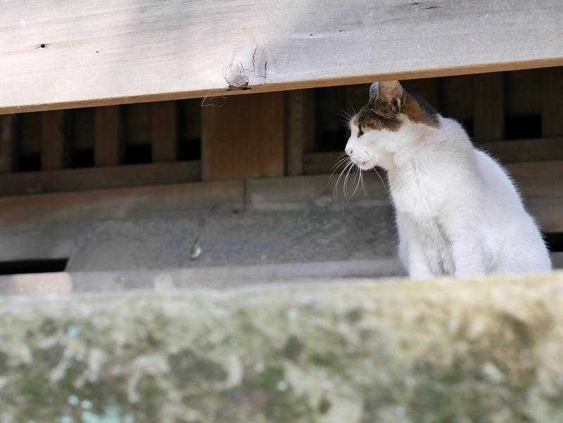 お堂白キジ猫1