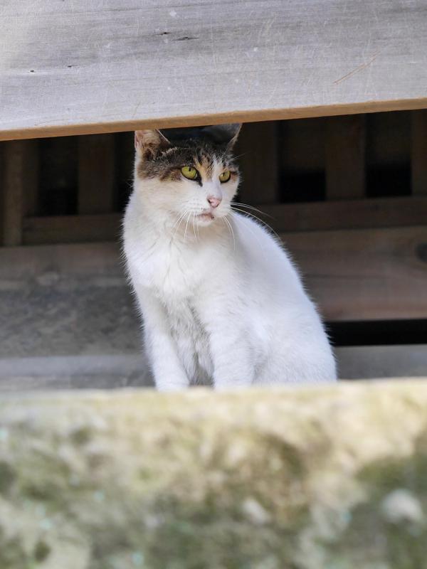 お堂白キジ猫2