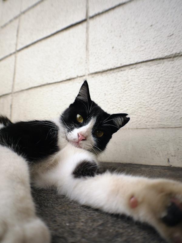 ブロック壁と黒白猫1