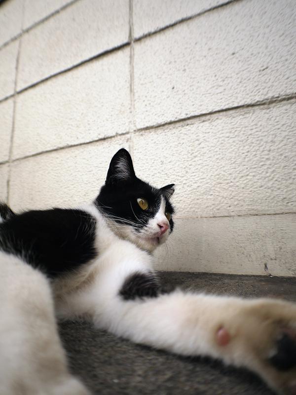 ブロック壁と黒白猫2