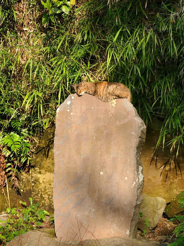 石碑の上で寝てるキジトラ猫1