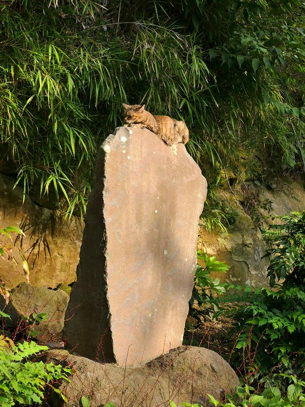 石碑の上で寝てるキジトラ猫2