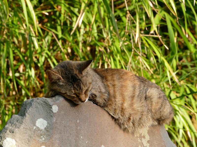 石碑の上で寝てるキジトラ猫3