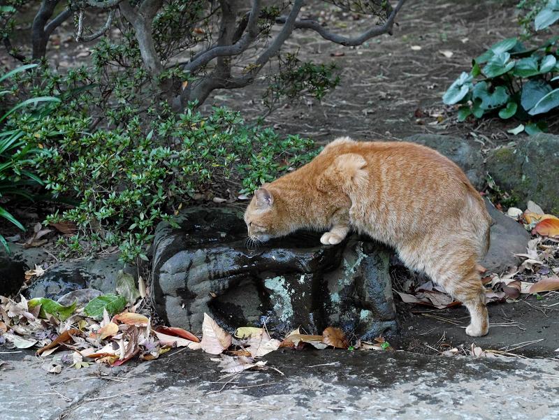 窪み石で水を飲む茶トラ猫