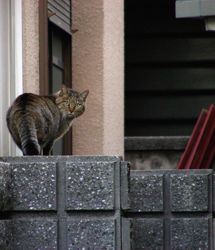 ブロック塀振り返りキジトラ猫
