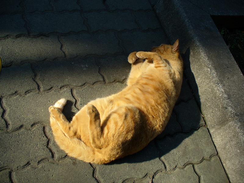 縁石茶トラ猫1