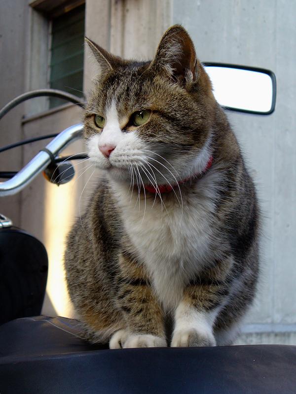 スクーターシートのキジ白猫1