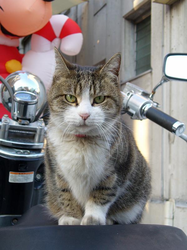 スクーターシートのキジ白猫2