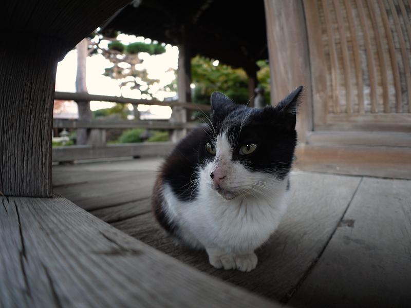 古堂欄干濡れ縁の黒白猫