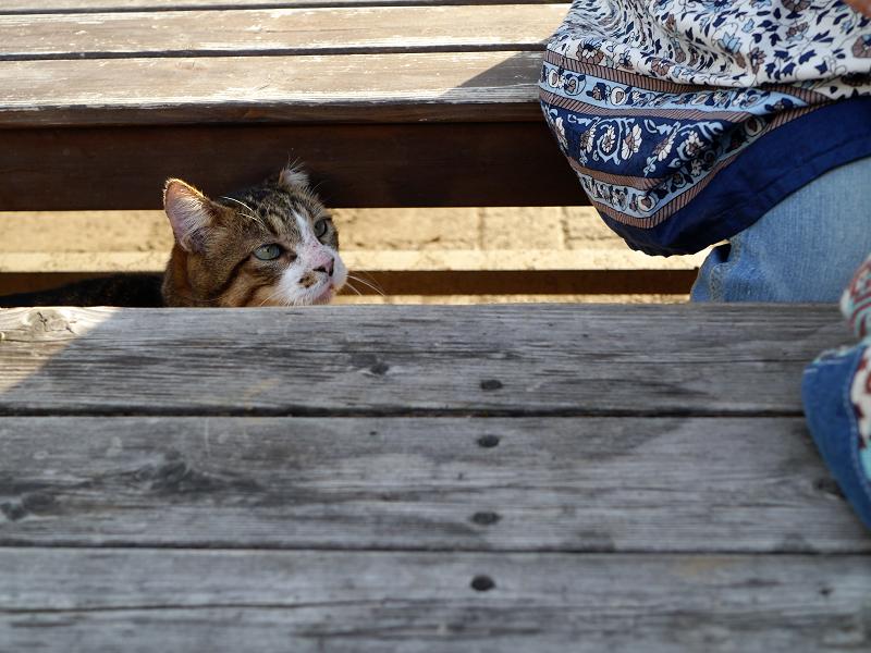 ベンチの間からキジ白猫