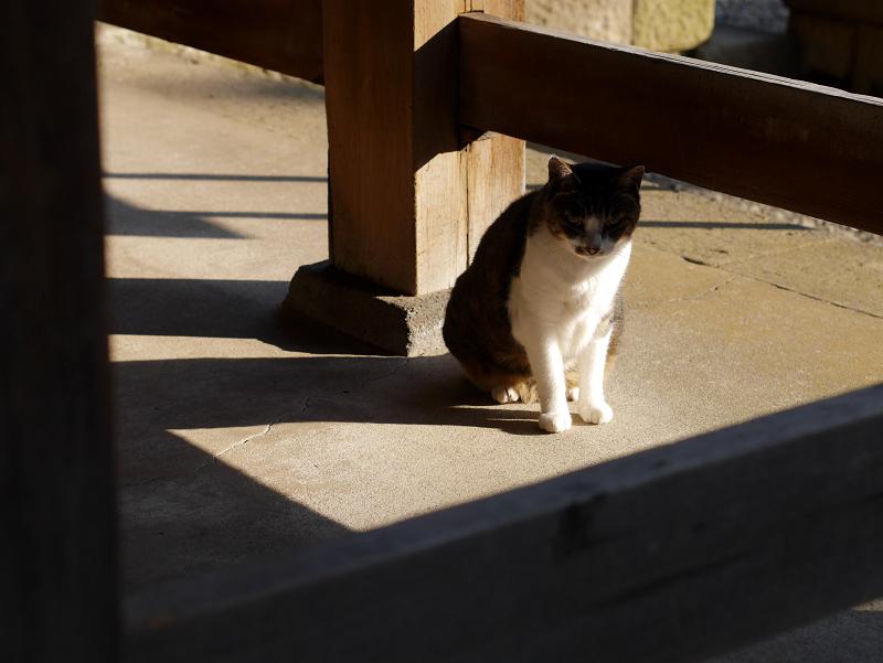 欄干キジ白猫1