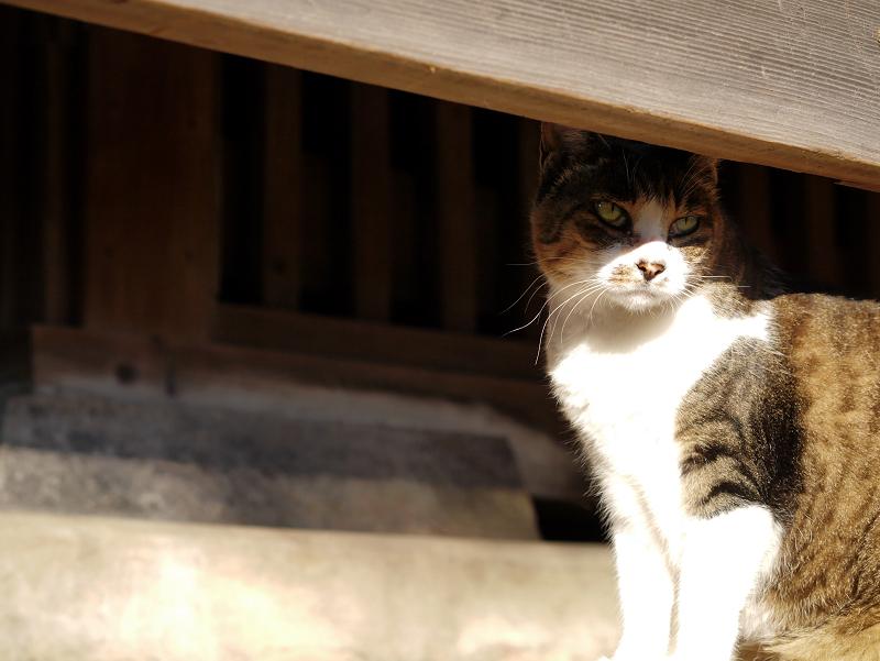 欄干キジ白猫2