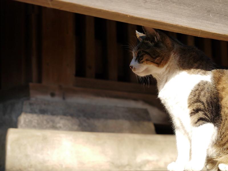 欄干キジ白猫3