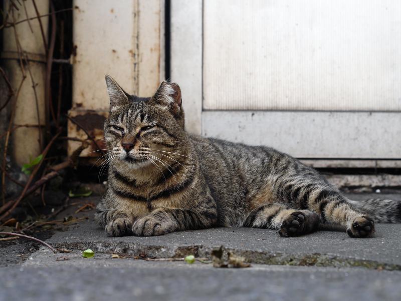 遠い視線のキジトラ猫1