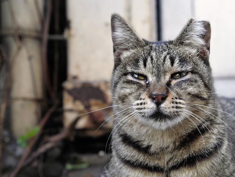 遠い視線のキジトラ猫2