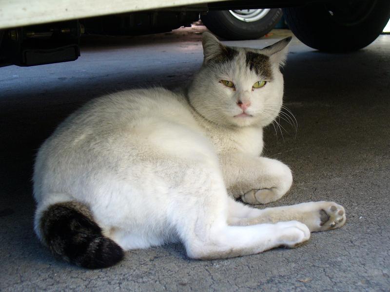 青年猫『へま』