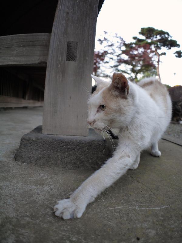 古堂犬走りの白茶猫