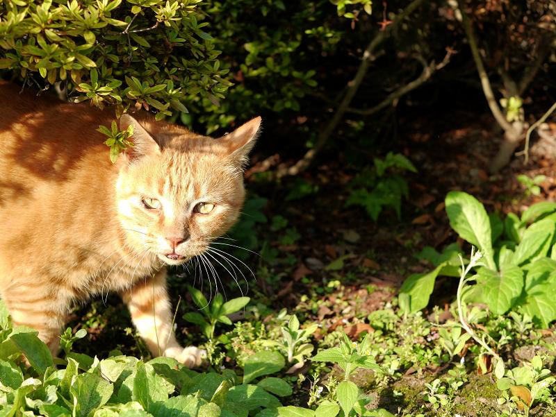 茂みの大きな茶トラ猫1