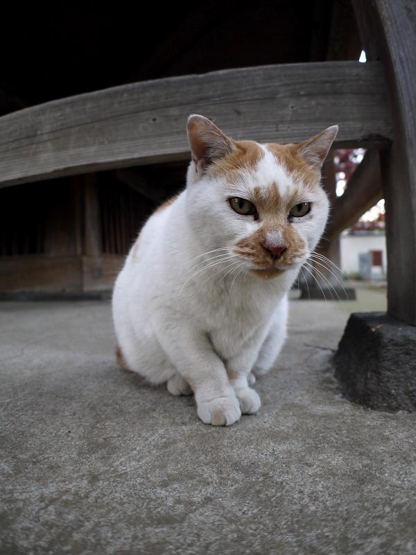古堂犬走りの茶白猫