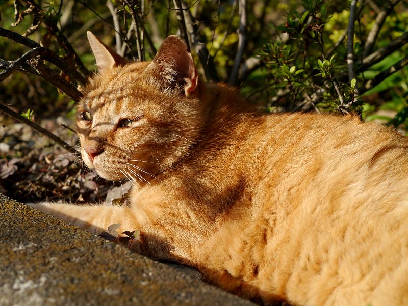 茂みの大きな茶トラ猫3