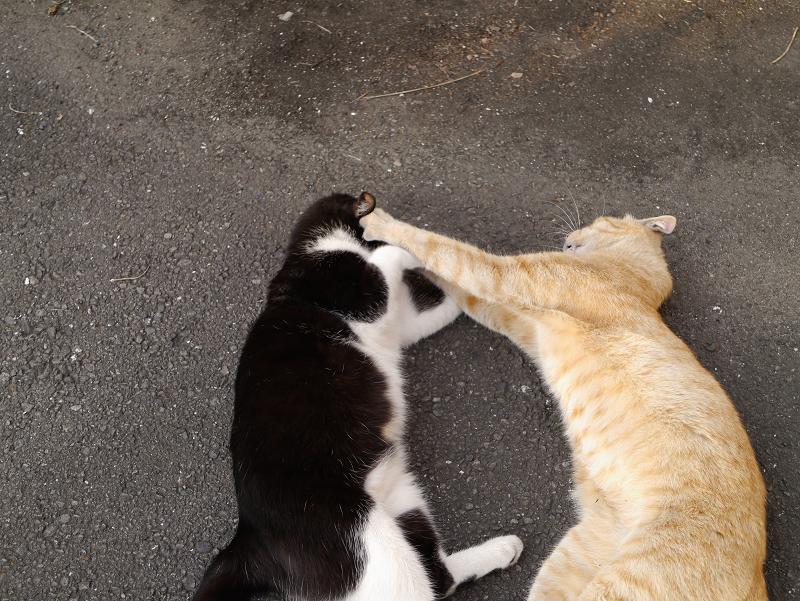 寝転がって暴れる猫たち1