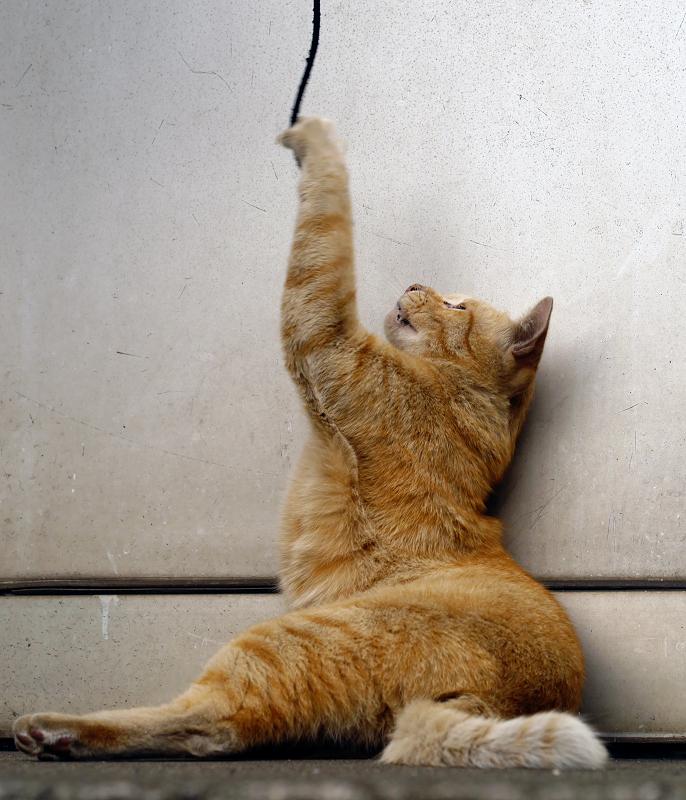 壁とゴム紐と茶トラ猫2