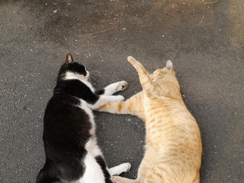 寝転がって暴れる猫たち3