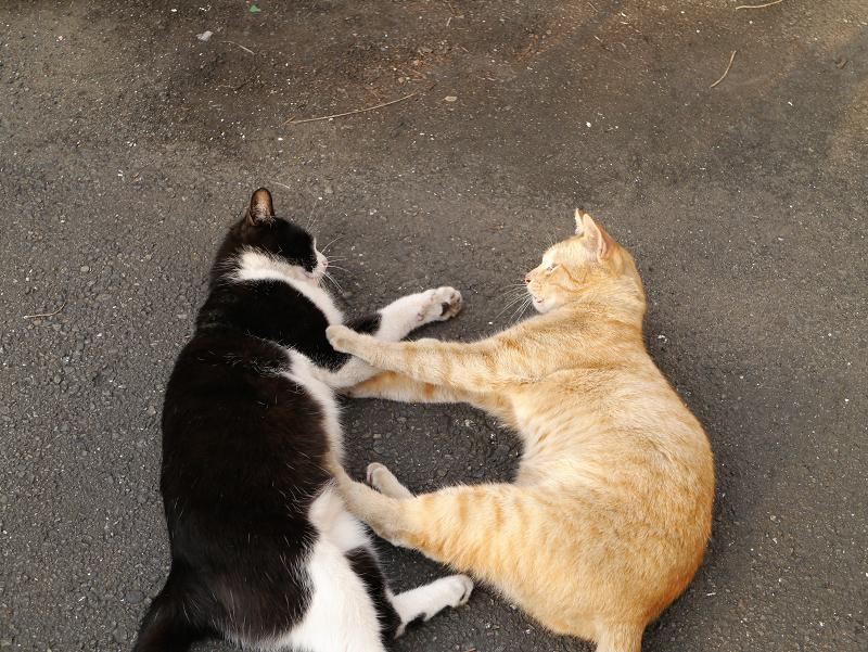 寝転がって暴れる猫たち4