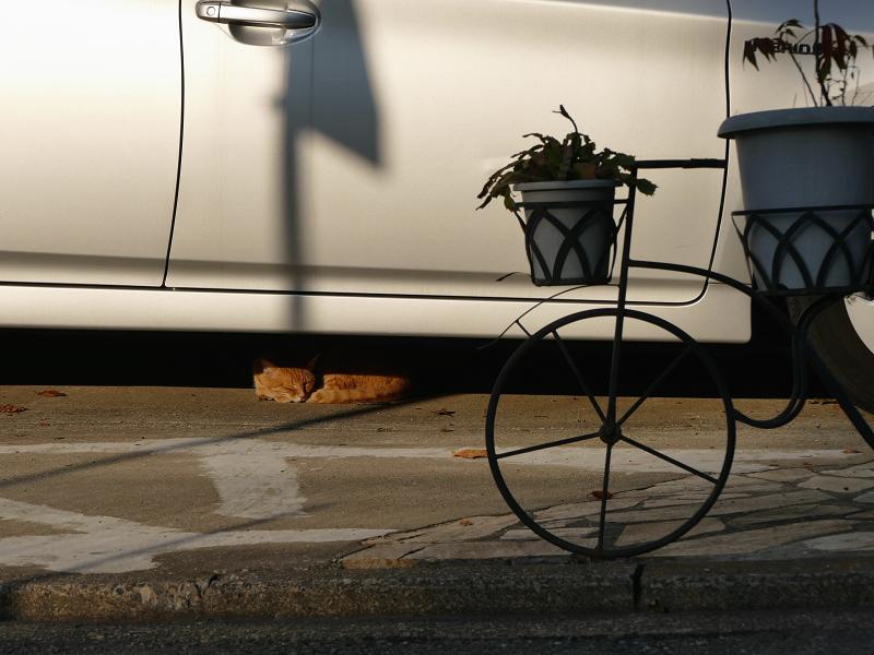 夕陽影と茶トラ猫1