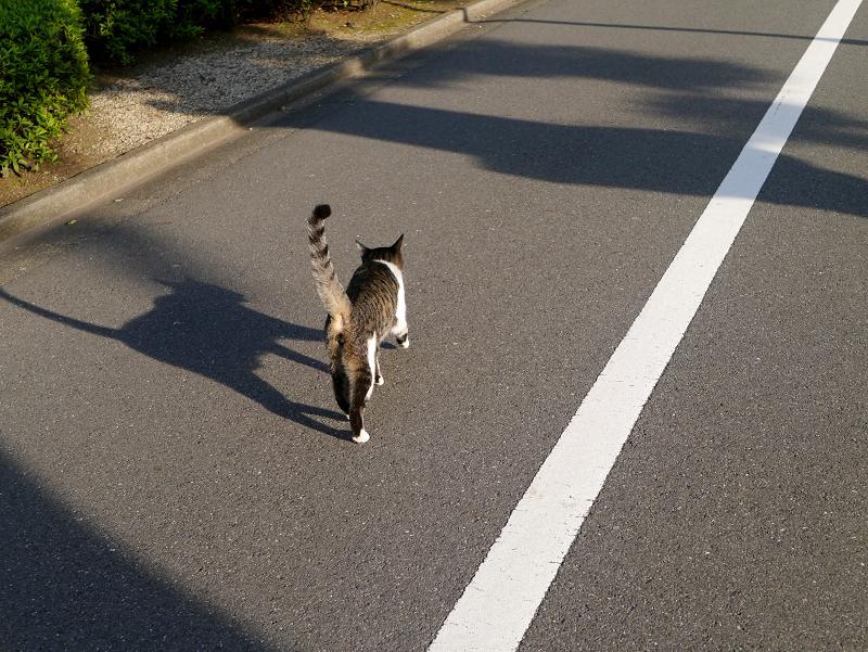 影と白線とキジ白猫2