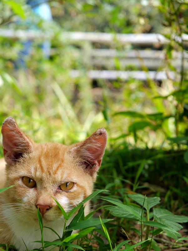 草むらから見つめる茶白猫1