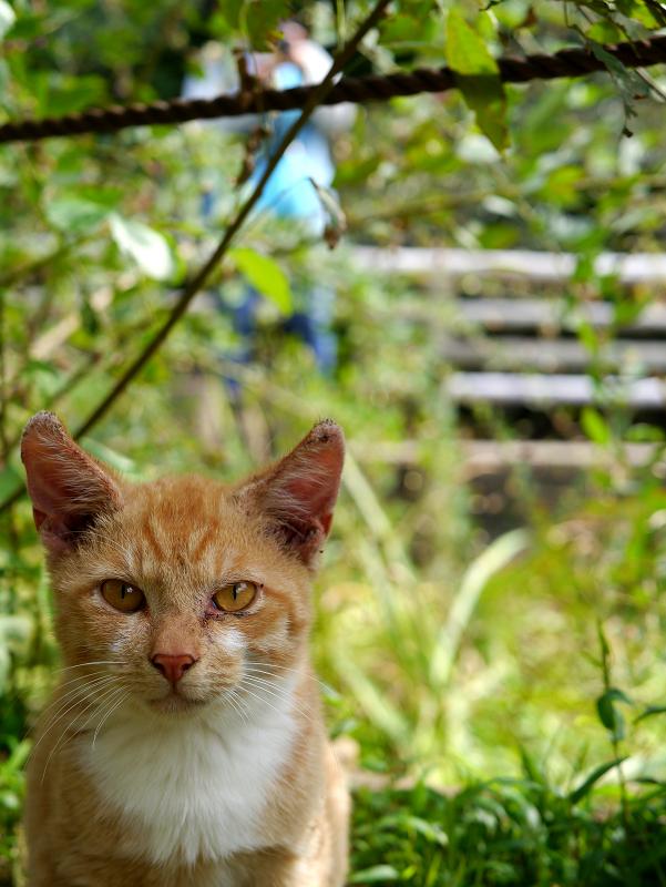 草むらから見つめる茶白猫2
