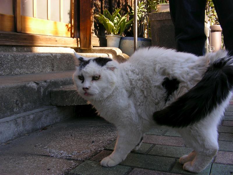 歩道に降りてきた白黒猫1