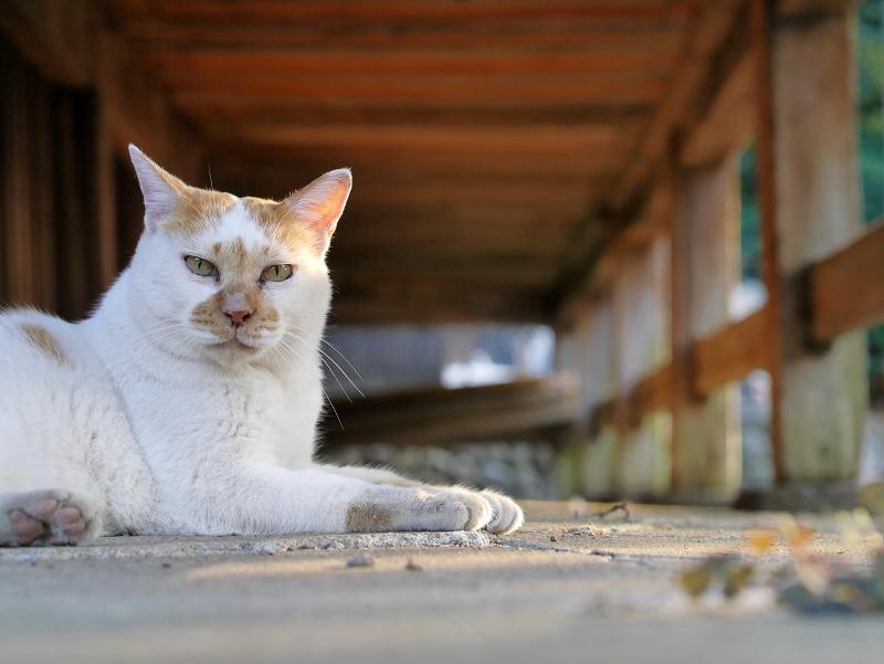 縁の下茶白猫1