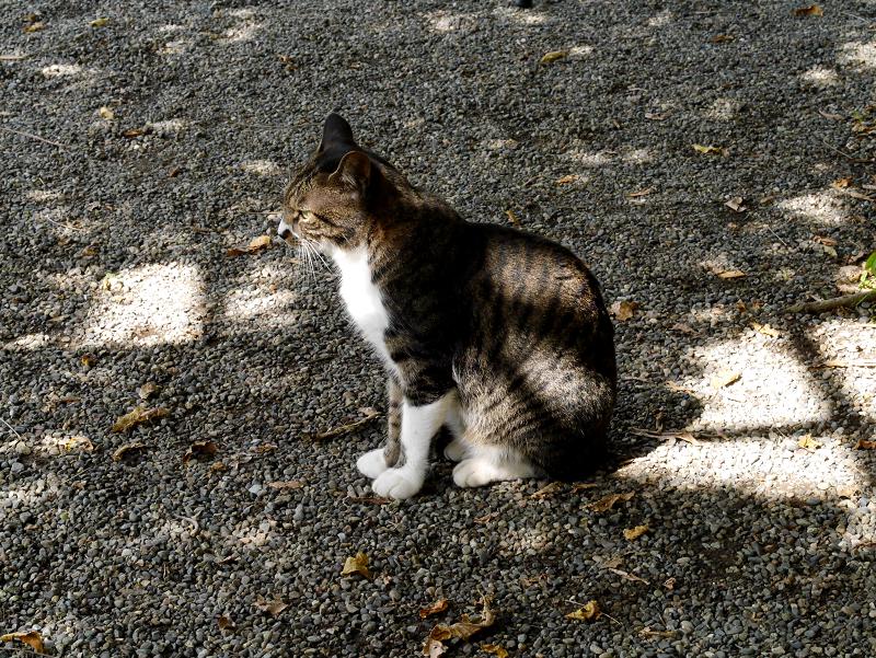 木漏れ日とキジ白猫