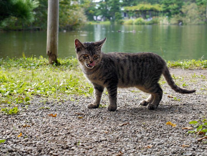池とキジトラ猫