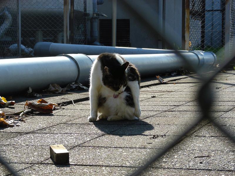 パイプキジ白猫2
