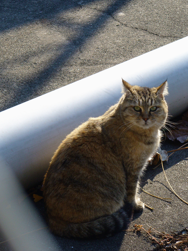 パイプサビ柄猫