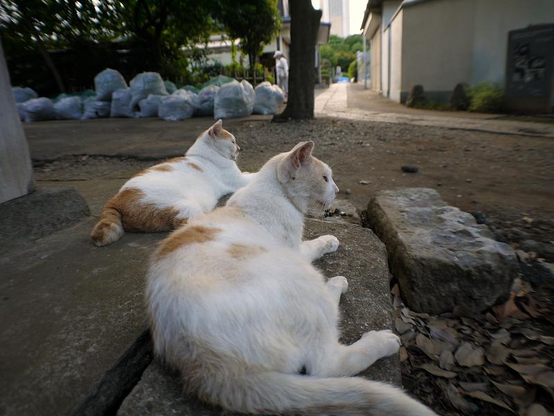 礎石茶白猫1