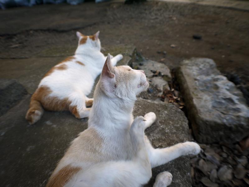礎石茶白猫2